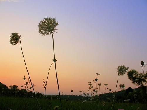 sunset sky lake flower wildflower queenanneslace meltonhilllake meltonhill theparadigmshifter