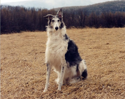 Bella ~ my favorite picture of her by Ferlinka Borzoi (Deb West)