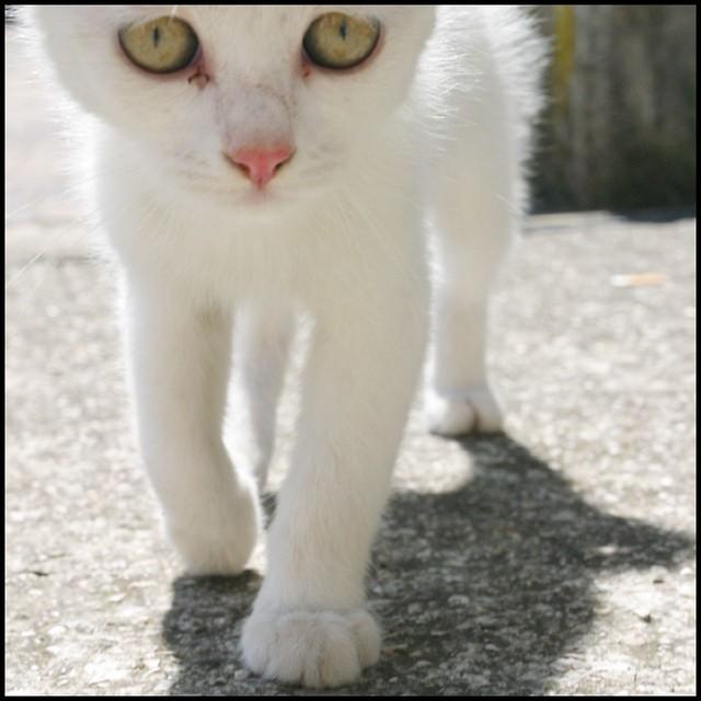 Gatto Bianco Gattino Enrico Colussi Flickr