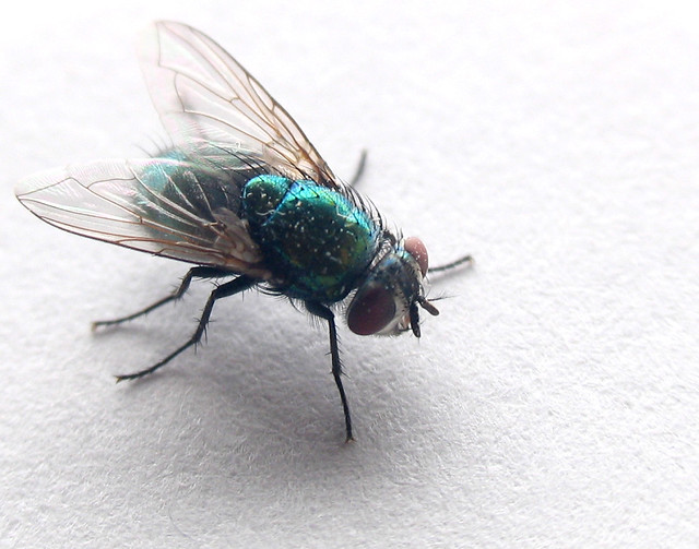 Green Bottle Fly - by jpctalbot Green Bottle Fly - by jpctalbot