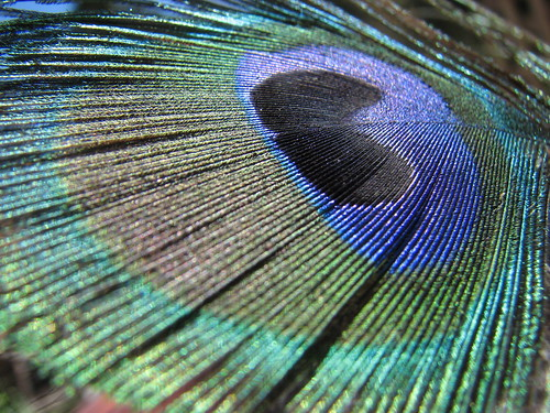 peacock feather | by BotheredByBees