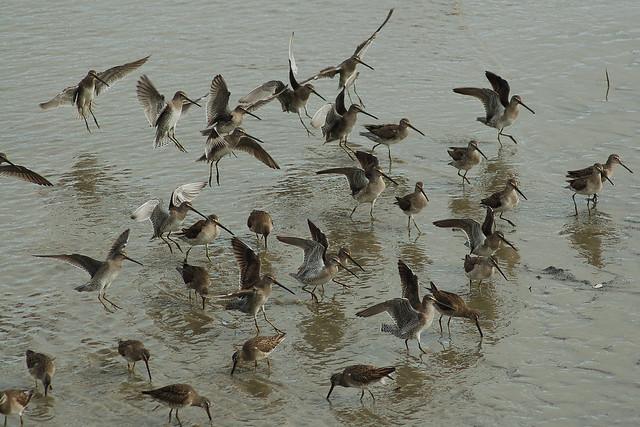 Shorebirds landing