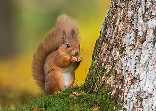 Red Squirrel 5 | by mike.stephen99