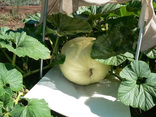 Giant Pumpkin | by aresauburn™