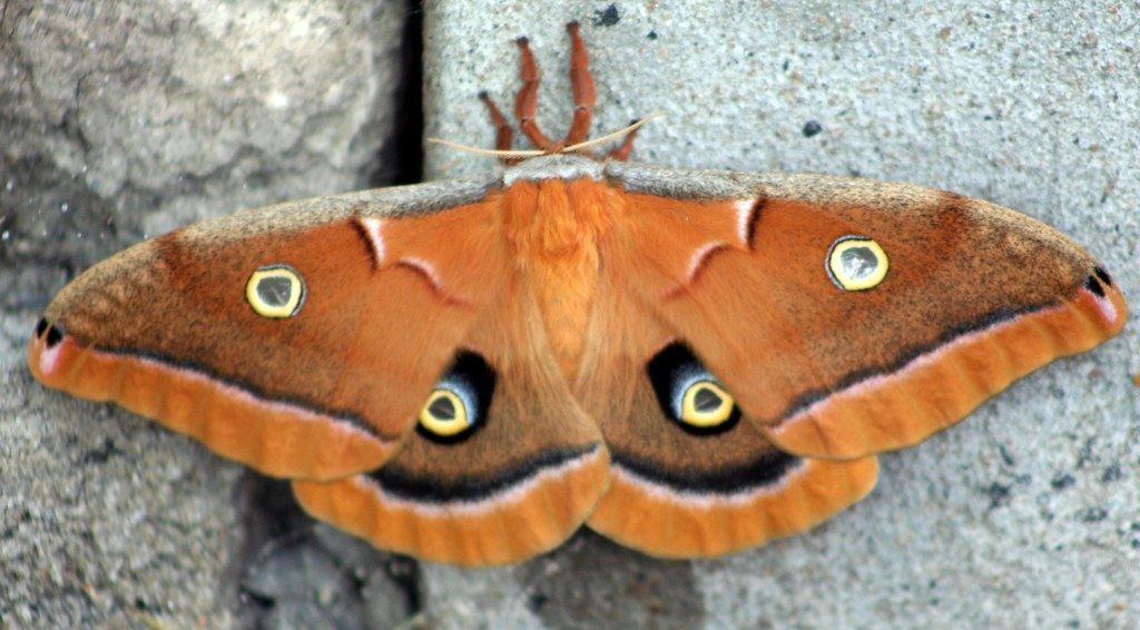 Polyphemus Moth Open Wings Close up