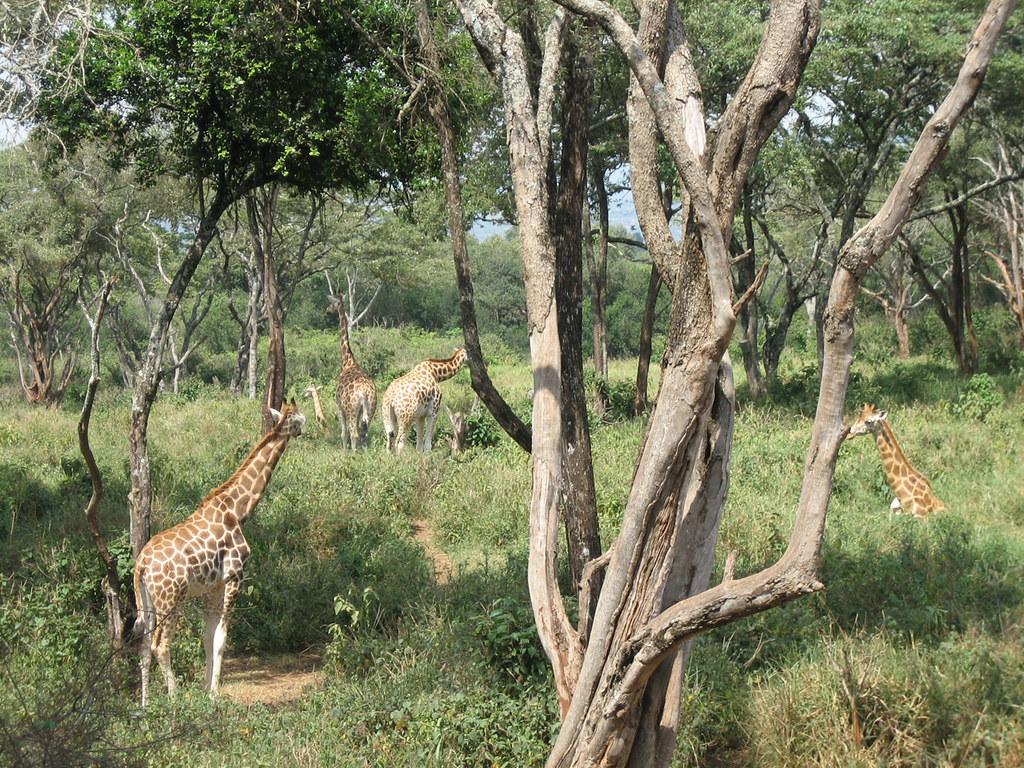 Nairobi Langata Giraffe Centre