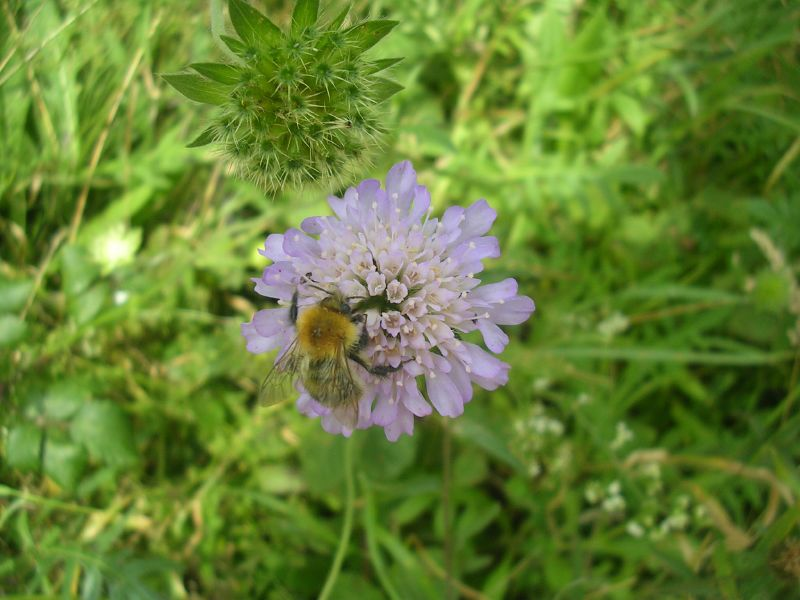 Bee on scabious Southbourne to Chichester