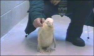 albino.penguin