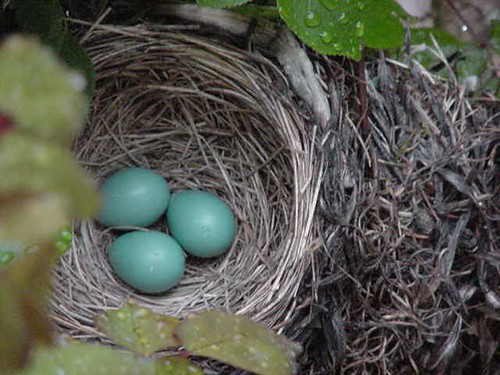 robin's nest May 19, 2005 - 2 | by corsi photo