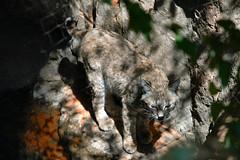 the piscivorous feline