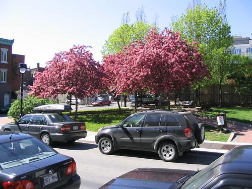 flickr photo: Sakuras in bloom