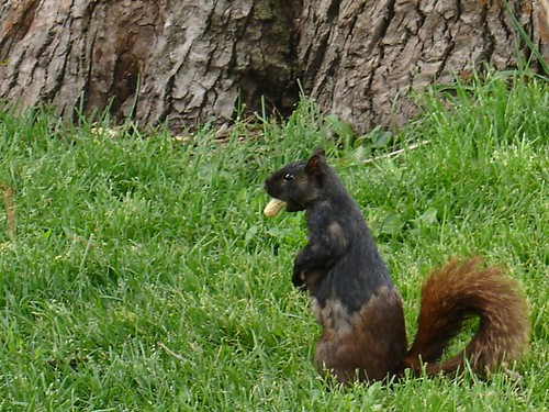 two_tone_squirrel