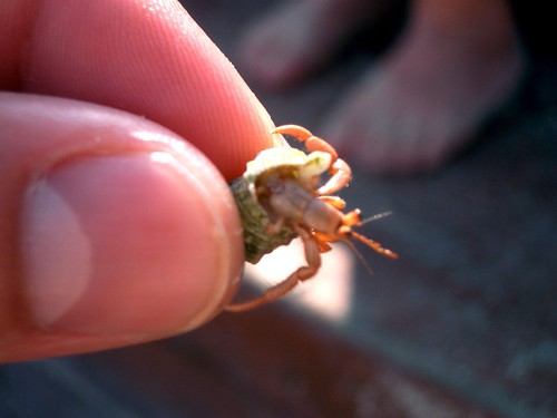 Small Hermit Crab | by nucof