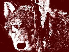 WolfBehindtheBirch