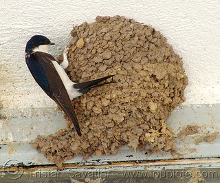 4307 - Swallow Bird and Nest | by loupiote (Old Skool) pro