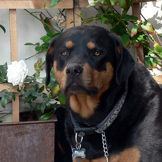 Rottweiler at Figaro Cafe | by Gregg