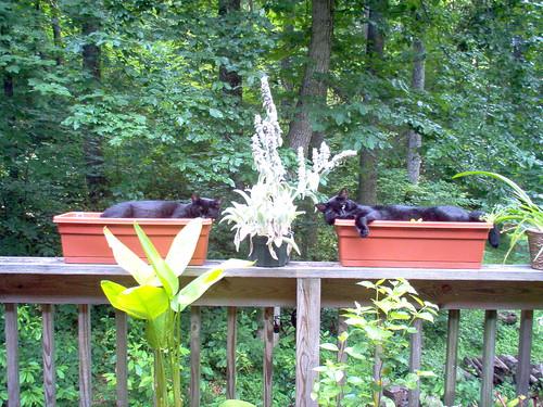 cats blackcat moose catnap sasha cutecat catcouples 2000views cc100