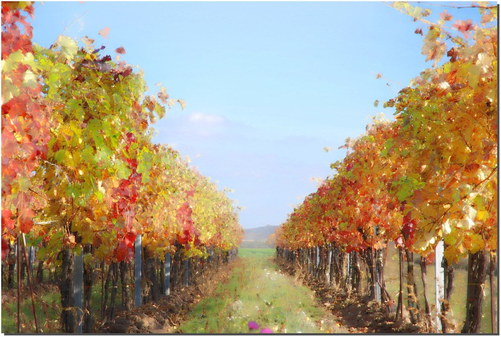 Vineyard Thinking Claude Monet In A Country Czech