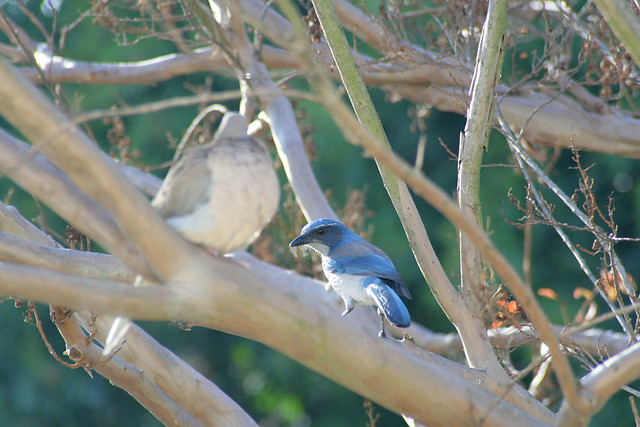 Western Scrub Jay and Mourning Dove from my window