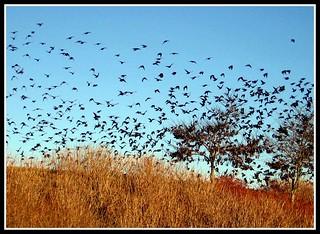 Blackbirds at Dusk, Asheville, North Carolina | by moonjazz