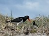 magellanic oyster catcher and chick by >*Jan*<