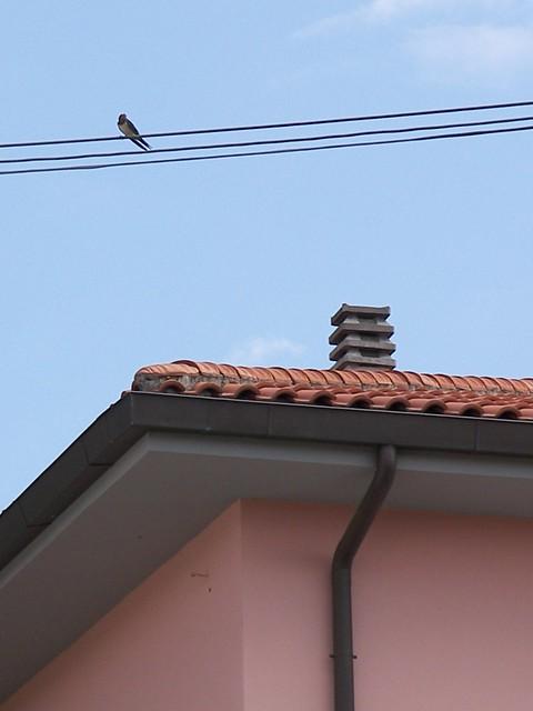 Rondine / Swallow