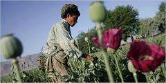 Afghan Opium Fields - Narcotistan