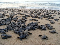 Olive Ridley Babies going to Sea | by Grass Routes Journeys