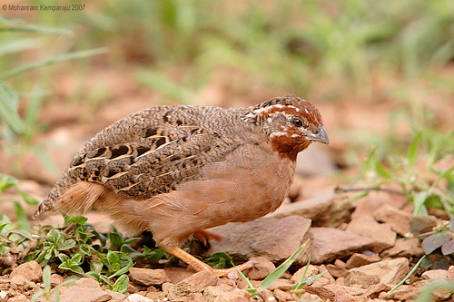 Jungle Bush Quail - female | by MohanRK