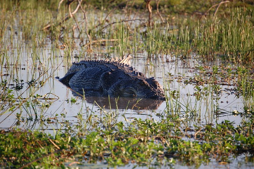 Large saltwater crocodile   by ciamabue