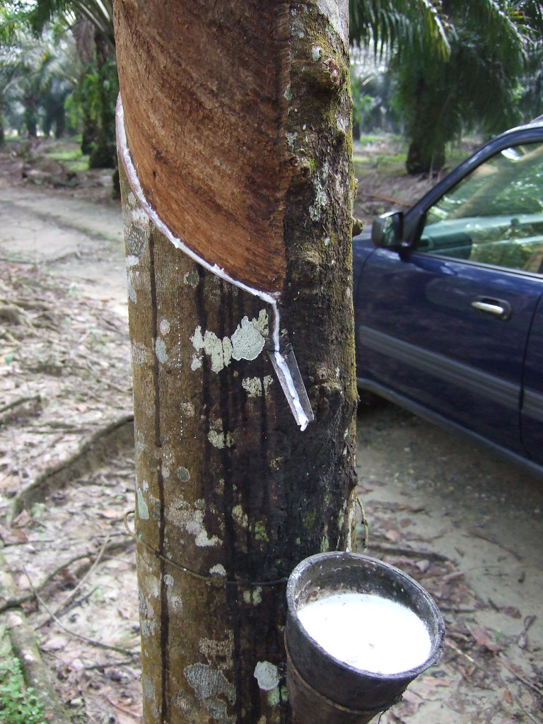 What Is Rubber Made Of >> Rubber Tree Closeup Rubber Is Made From The Sap Each Morn