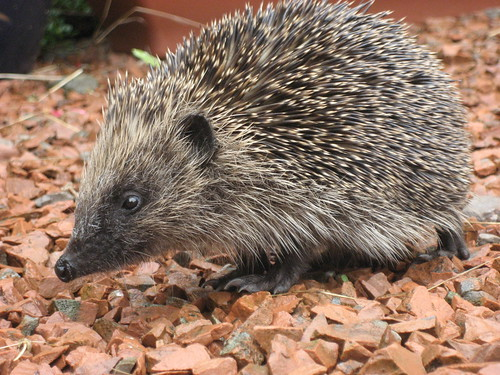 Hedgehog - free use | by seymoursimages