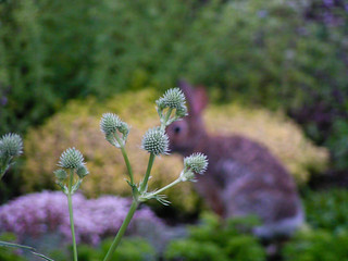 Thistle with bunny | by Craig Hatfield