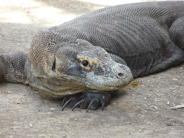 Dragón de Komodo en Indonesia.