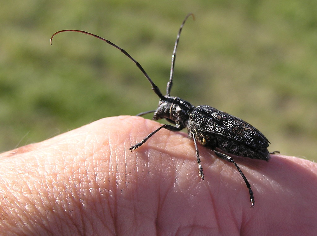 Spruce Sawyer   This member of the long-horned beetles is a