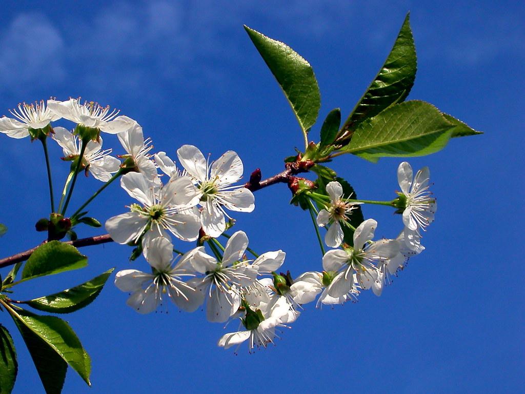 Kwiaty wiśni / Cherry blossom