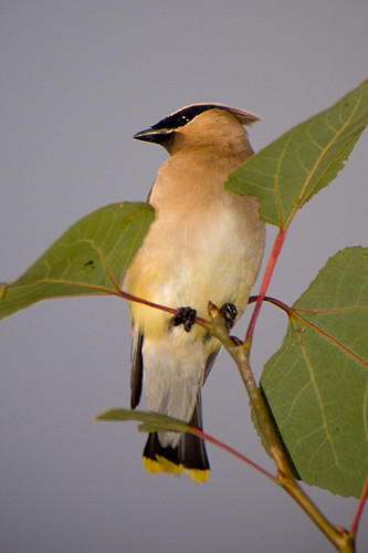 Waxwing when we use to have leaves! | by Mon@rch