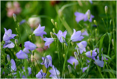 harebells   by withrow