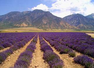Young Living Lavender | by ka2rina