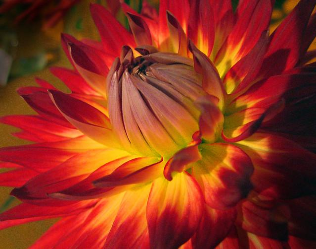 Red-Yellow Dahlia