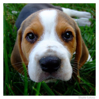 beagle eyes | by vantes