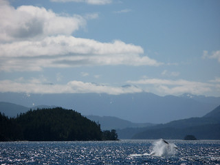 Humpback in Johnstone Strait | by Ruth and Dave