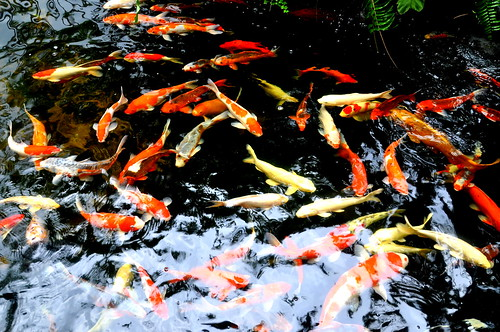 Koi Fish Pond | by Eustaquio Santimano