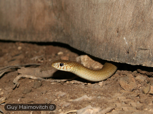 Adult Female Lined Dwarf Racer (Eirenis Decemlineata) שלוון קווים | by HyperViper