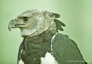 Profile, Harpy Eagle   by jimgspokane