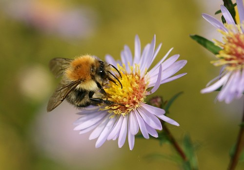 Bee on aster | by nutmeg66