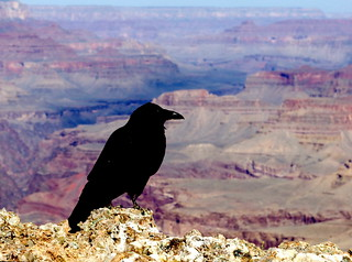 Raven perched above Tanner Trail at Lipan Point | by Al_HikesAZ