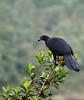 Black Guan at Poas Volcano NP, Costa Rica by tgduarte