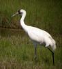 Whooping Crane by Langooney