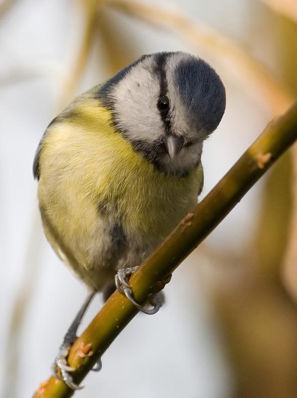 Pensive blue tit
